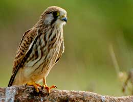 Small-Kestrel
