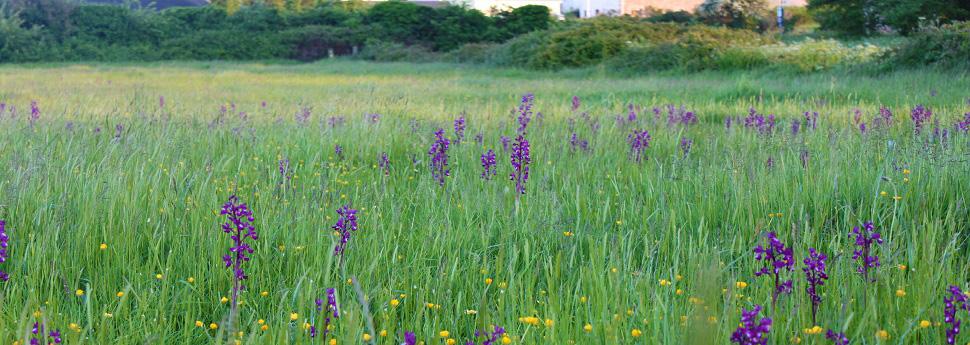 Orchid Field (Le Noir Pre)