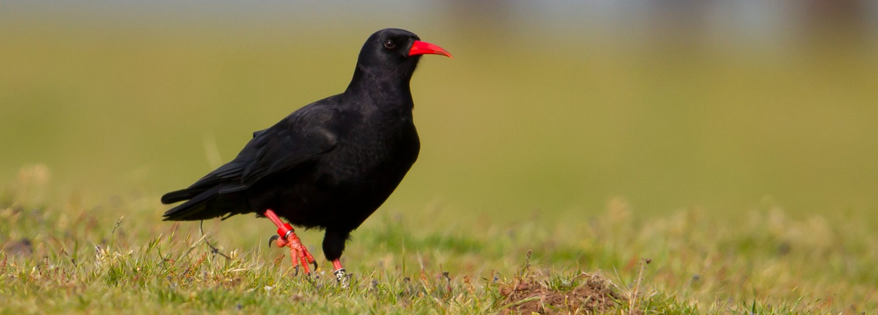 banner-red-billed chough