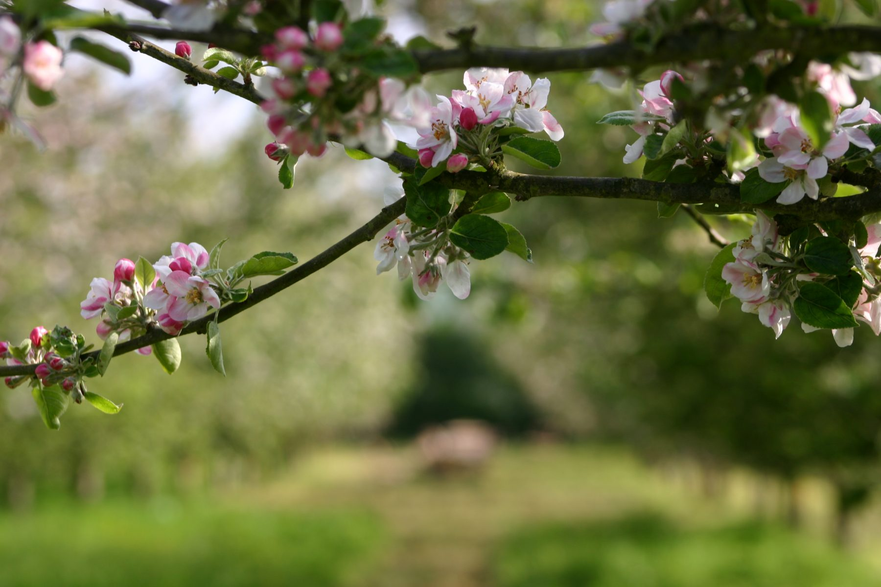 Pruning and Grafting Apple Trees with Vincent Obbard