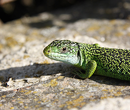 Small-Wildlife-Green-Lizard